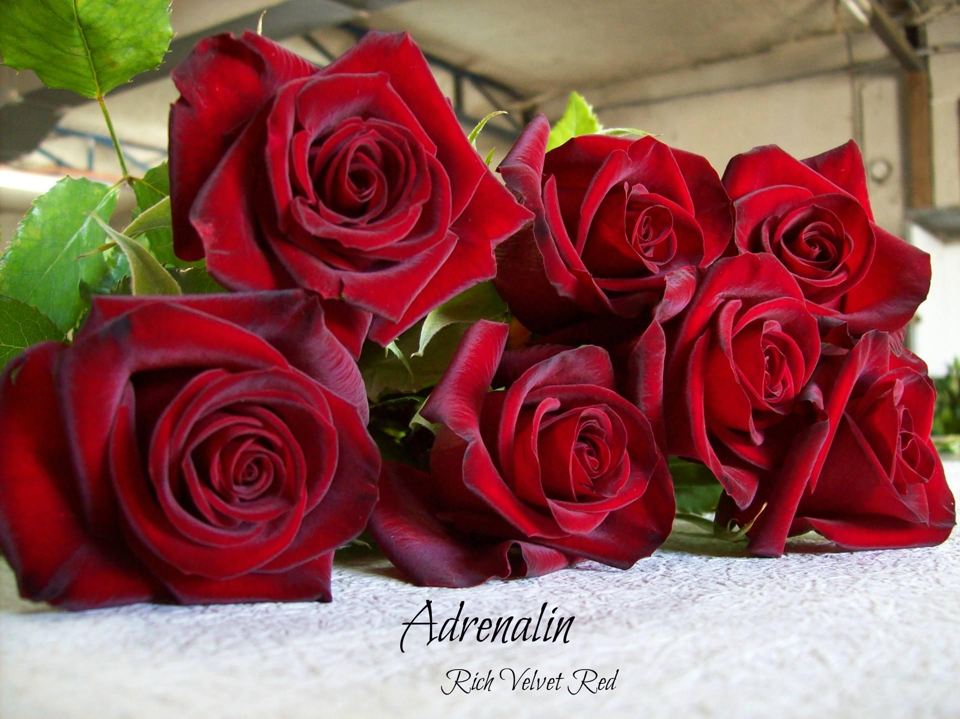 Rose: Bagala Bros Australia