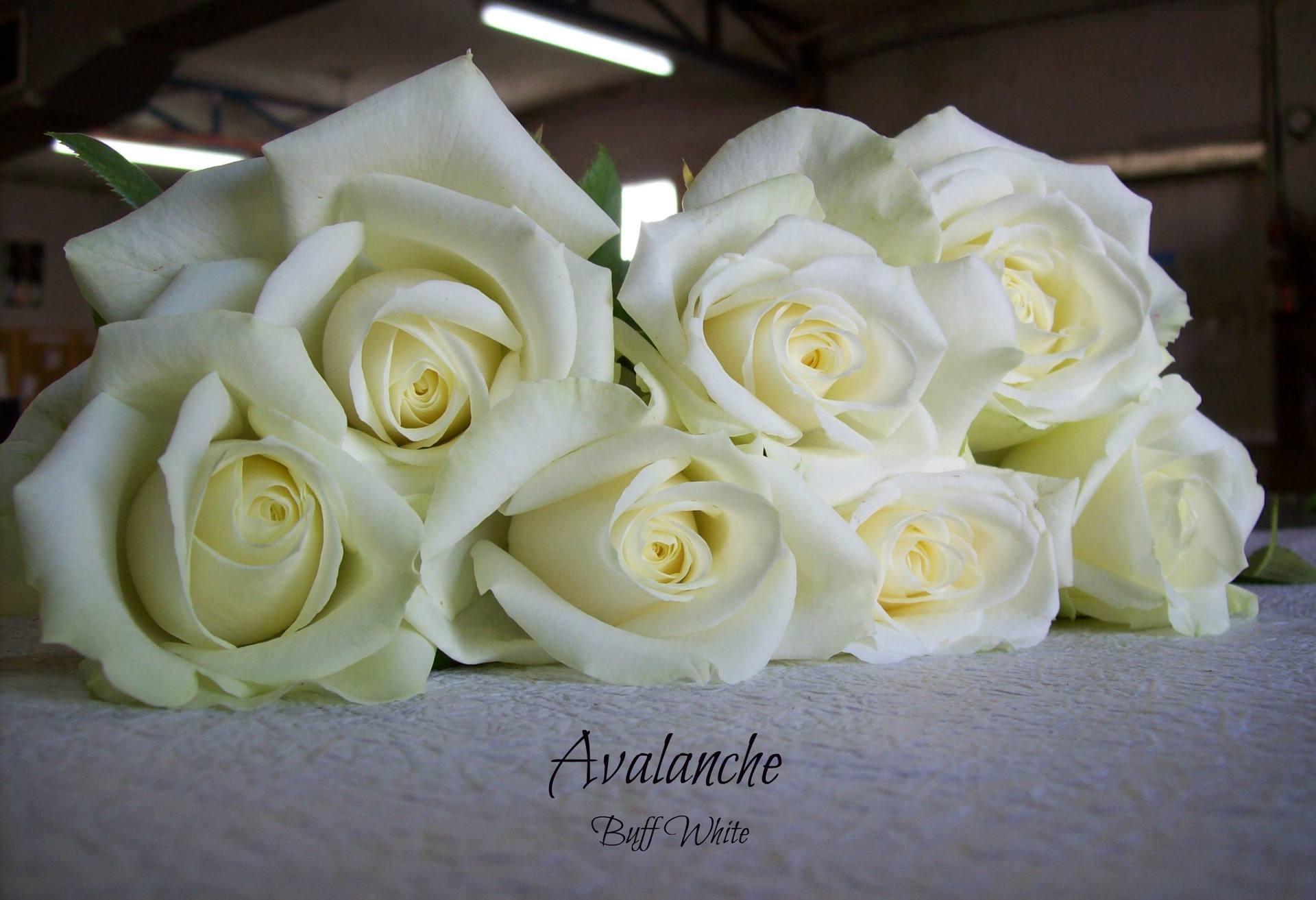 Rose Varieties - Bagala Bros Australia